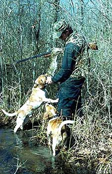 Rabbit hunter with two beagle dogs sniffing a rabbit