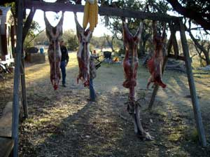 Several deer carcasses hanging from poles