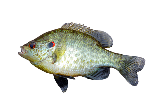 Side view of a reddear sunfish