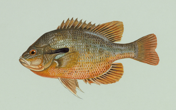 Side view of Redbreast Sunfish, photo by Duane Raver, USFWS