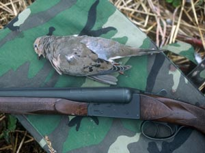 Dove laying by shotgun