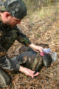 Turkey hunting with down gobbler holding its beard