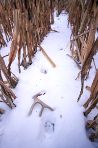 Deer antler sheds lying in the snow in a corn field
