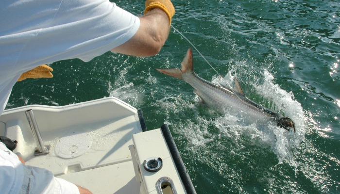 Tarpon at boatside close