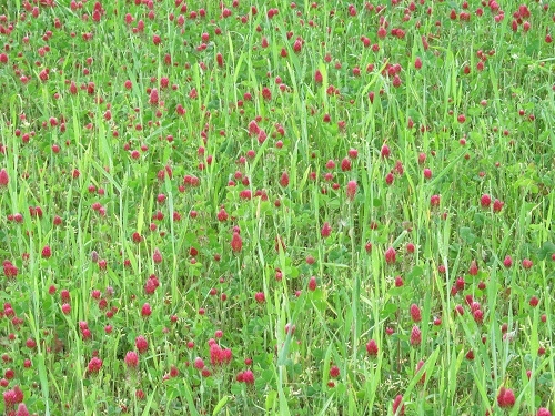Wheat field mixed with Crimson Clover
