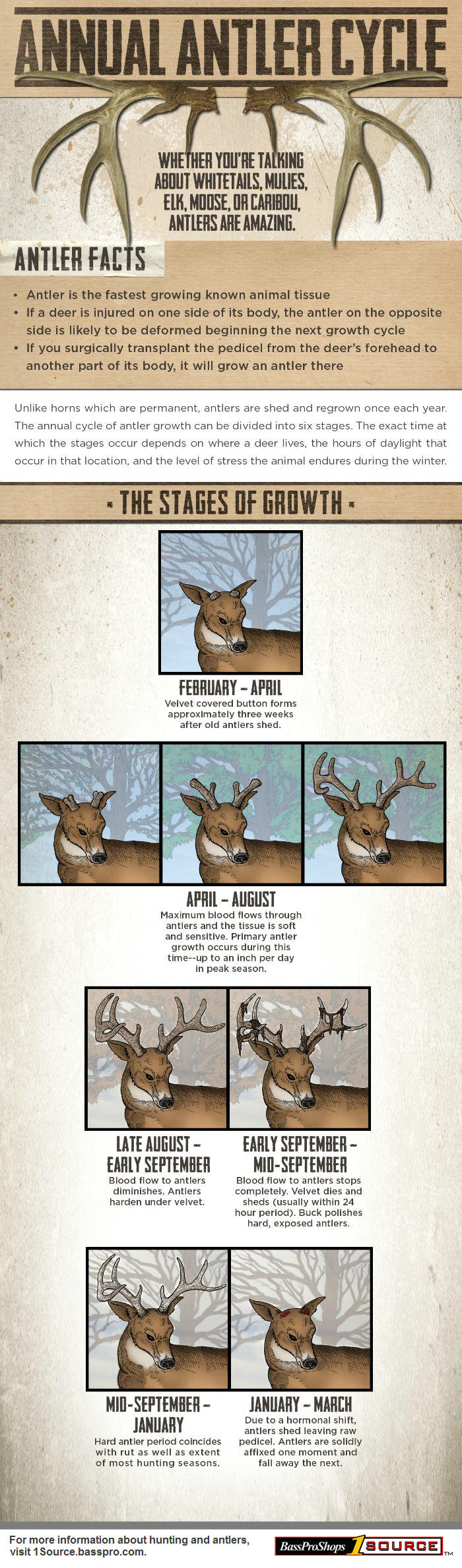 antler growth info main 2