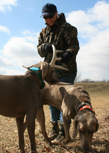 Man and dogs in field hunting deer antler shed