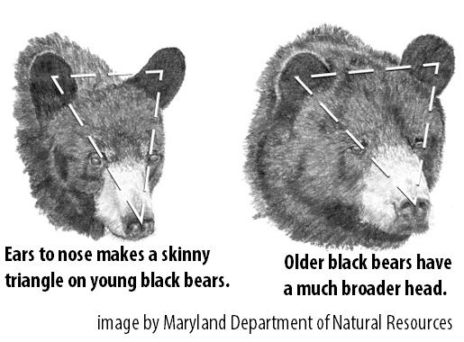 Bear Hunt: 4 Ways to Judge the Size and Age of a Black Bear