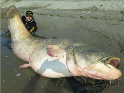 Angler with a ver big catfish