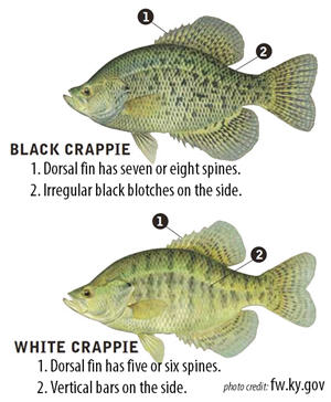 Two crappie species