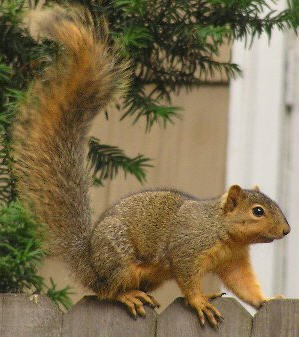 fox squirrel-wiki