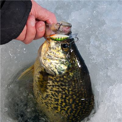 Fish caught while ice fishing with a Rapala Jigging Rap