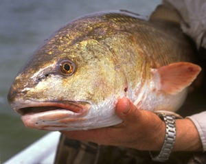 Redfish held by fisherman