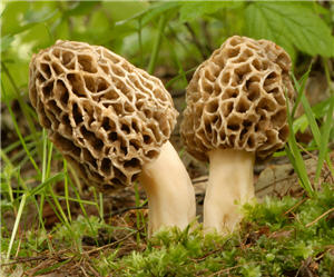 Two early spring morel mushrooms