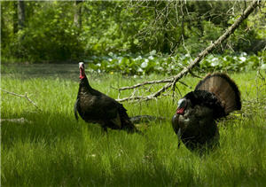 Two turkey in a low clearing in the spring woods.