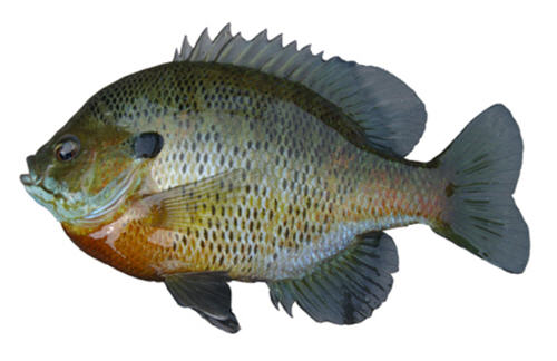 Side view of a bluegill fish