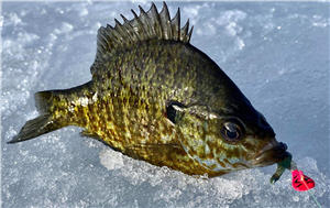 Crappie fish with a Cabela's Glyde Jig in its mouth