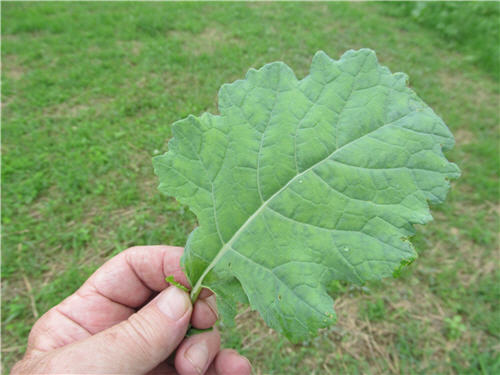 A person holding a large and close up view of a single brassica leaf