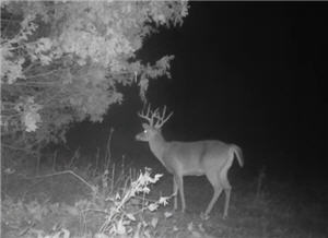 Buck image from trail cam
