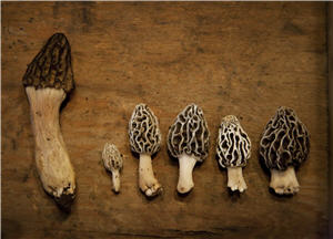 Six different colored morel mushrooms
