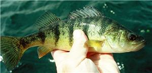panfish perch yellow