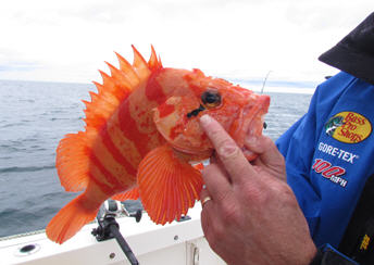 rockfish red banded