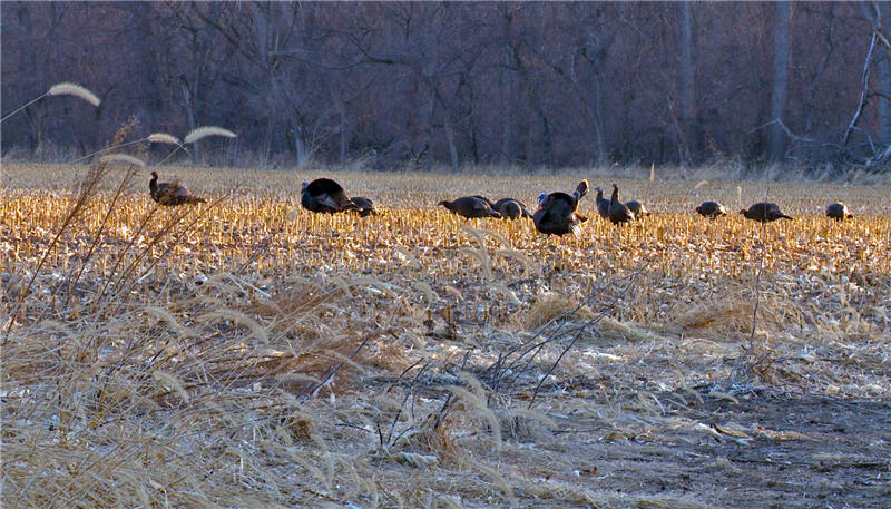 turkeys nebraska toms