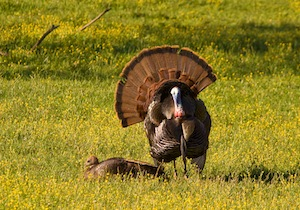 Wild Turkey in Grass
