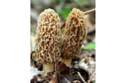 News & Tips: Mighty Morels