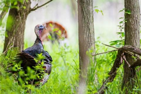 News & Tips: What to Look for When Scouting Your Turkey Hunting Ground...