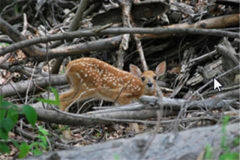 News & Tips: Saving Fawns from Coyote Predation