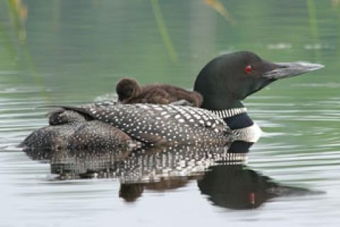 News & Tips: 5 Tips on Photographing the Common Loon...