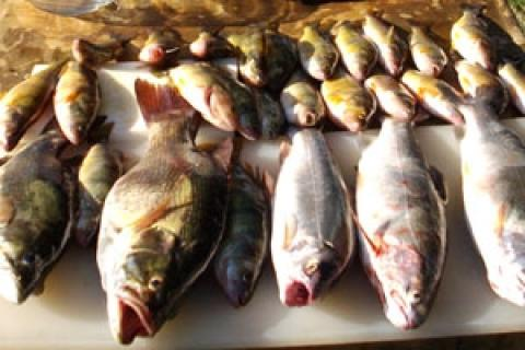 News & Tips: 3 Tips to Catch More Perch This Summer...