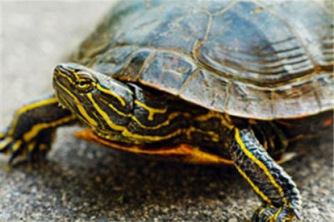 News & Tips: Wildlife Exploration: Painted Turtle