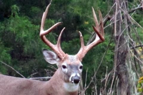 News & Tips: Scoring Whitetail Deer