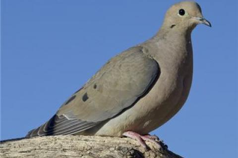 News & Tips: Hunting Turtle Dove During Summer