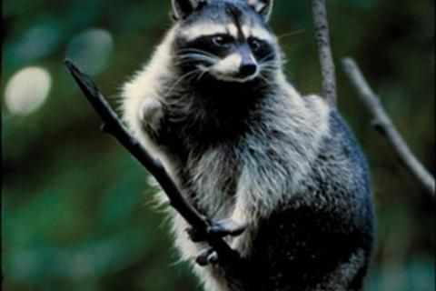 News & Tips: Old Dogs & New Tricks: Coon Hunting Technology Has Come a Long Way...