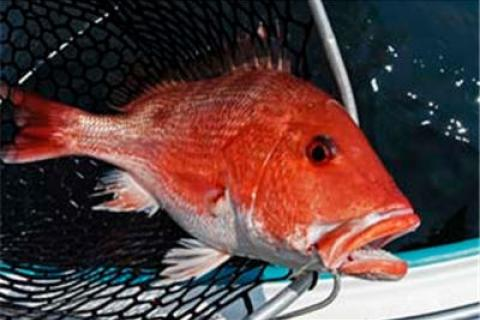 News & Tips: Get Into Summer's Short Snapper Fishing Season...
