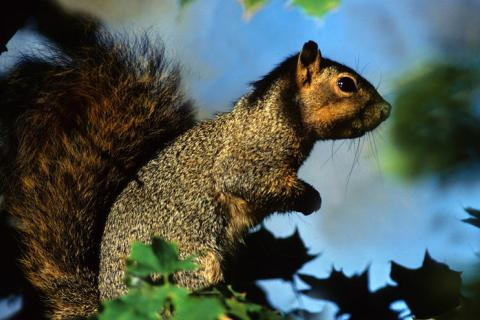 Squirrel: Copyright Denver Bryan/ Images On The Wildside 2016...