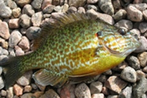 News & Tips: Panfish on the Fly