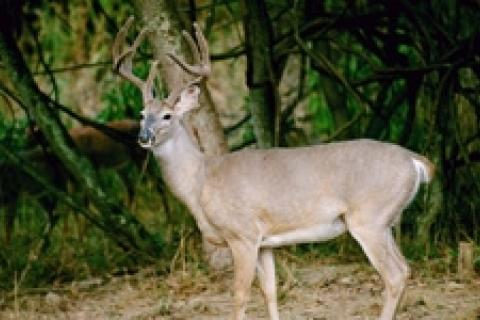 News & Tips: Deer Terminology