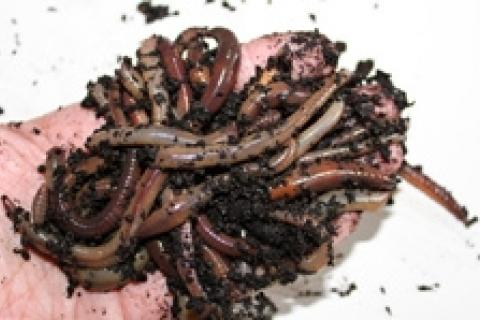 News & Tips: Become a Worm Picker