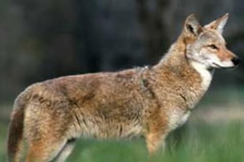 News & Tips: Coyote Hunting Basics