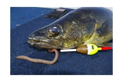 News & Tips: Slip-Bobbering Walleye
