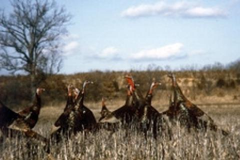 News & Tips: Hunting Tips and Tactics for Fall Turkeys...