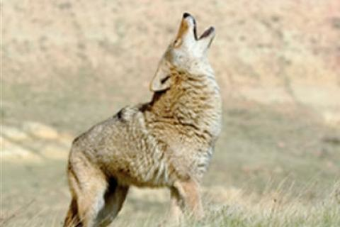 News & Tips: Coyote Scouting Tips