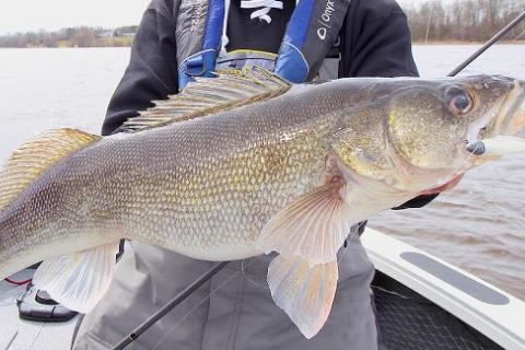 gigantic walleye caught with a Kalin's  Sizmic Shad Swim Bait by gigantic walleye caught with a Kalin's  Sizmic Shad Swim Bait...