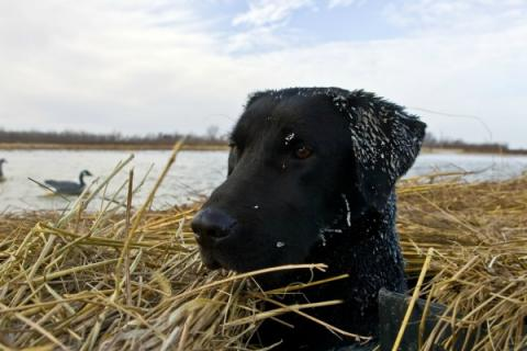 News & Tips: 5 Ways to Prepare Your Retriever for Frigid Weather...