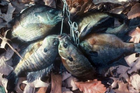 News & Tips: Reelfoot Lake in Tennessee is Panfish Paradise for Anglers...