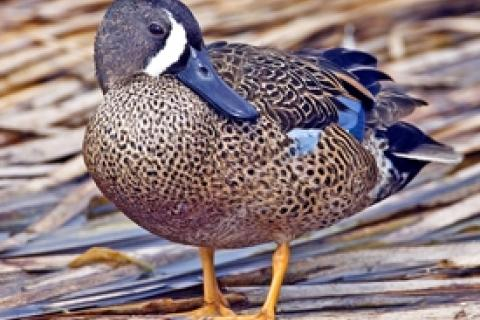 News & Tips: Michigan Gets Early Teal Season for First Time in 50 Years...
